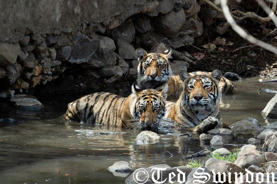Tiger Photography Tour 1
